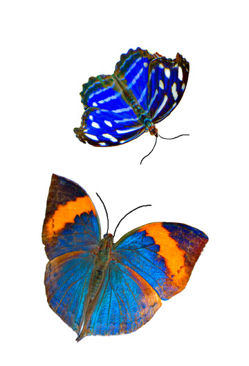 pics of butterflies. Pair Of Butterflies